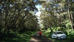 A Croton Tree plantation on Mt. Kenya